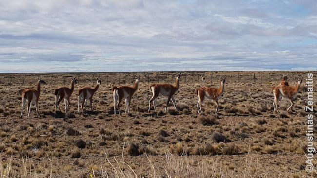 Gvanakų kaimenė Patagonijoje. Žvėrių čia ne mažiau, nei Afrikoje - vienintelė priežastis, kodėl kelionė žiūrėti žvėrių čia ne tokia populiari - jų įvairovė gerokai mažesnė. Pačioje piečiausioje Argentinos žemyno provincijoje - Santa Kruze - vienam žmogui tenka net 7 gvanakai. Juos galima medžioti, valgyti - mėsa skani