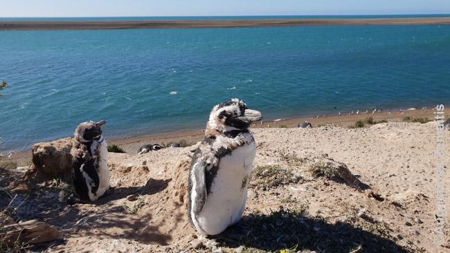 Pingvinai numeta plunksnas ir ruošiasi ilgoms plaukimo dienoms