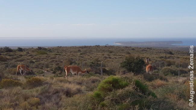 Gvanakai didžiausiame Patagonijos gyvūnų Valdeso nacionaliniame parke