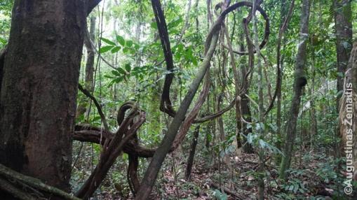 Pirmykštėse džiunglėse (Tapažo nacionalinės džiunglės)