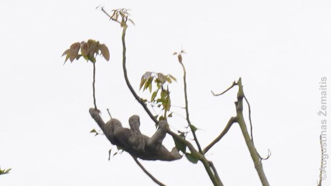 Tinginys medyje