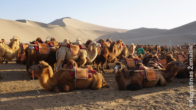 Pūkuoti Vidurinės Azijos kupranugariai (juk šiame regione, priešingai nei pas arabus - žiemos labai šaltos) prie Dunhuango laukia, kol prižiūrėtojas, užsodinęs ant jų turistus, išves į žygį po kopas