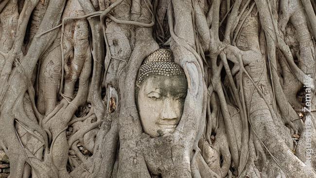 """Medžio šaknų """"praryta"""" Budos galva - vienas Ajutajos simbolių"""