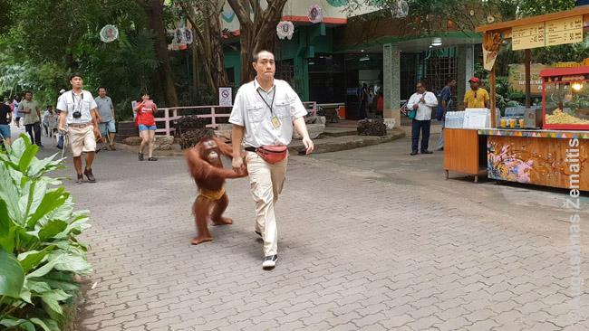Beždžionė Bankoko Marine Park vedama iš beždžionių bokso šou fotografuotis su turistais. Visokie išmoningi šou, kaip ir glostymas bei galimybės prieiti arti - kertiniai Tailando gyvūnų rodymo industrijos akmenys