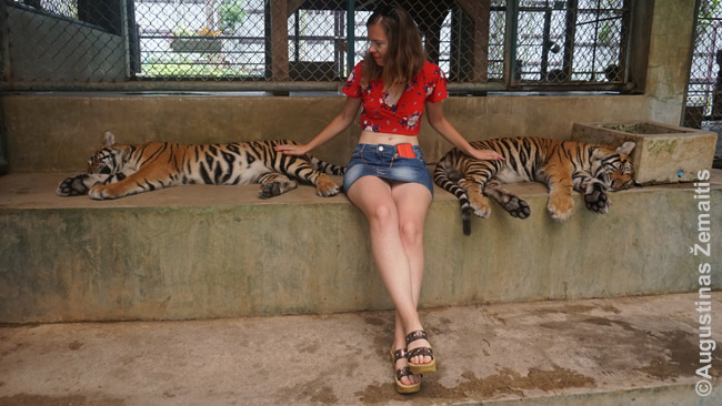 Tigrų glostymas - viena turistų mėgstamiausių pramogų Tailande. Beje, tigrai šiurkštesni, nei gali pasirodyti