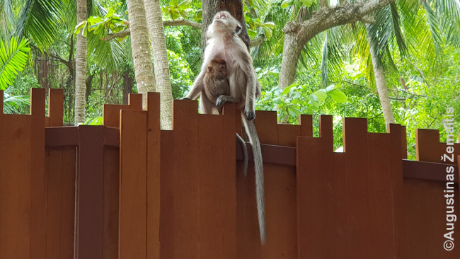 Turistai Tailande dažnai gąsdinami ir beždžionėmis-vagilėmis, bet, žinant kaip elgtis, jų stebėjimas gali būti ir labai įdomus (beje, jų yra ne visuose kurortuose)