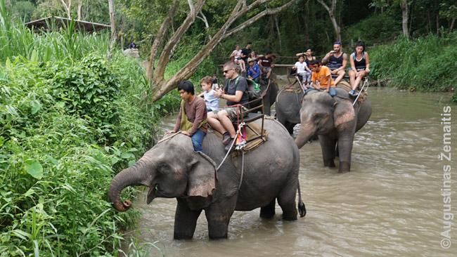 Už dienos ekskursiją su žygiu drambliais Čiang Majuje sumokėjau tiek, kiek Tailando kurortuose būtų kainavę prajoti ratuką drambliu ant asfalto