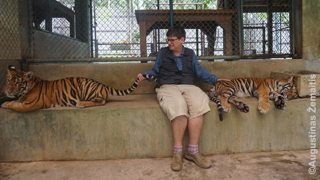 Tigrų glostymas Tiger Kingdom. Nusipirkęs bilietą, gali fotografuotis su pasirinkto amžiaus tigrais. Tokio amžiaus - vieni pigiausių. Mažučiai brangūs, nes mieli, didžiausi - nes efektingesnė nuotrauka su milžinišku tigru.