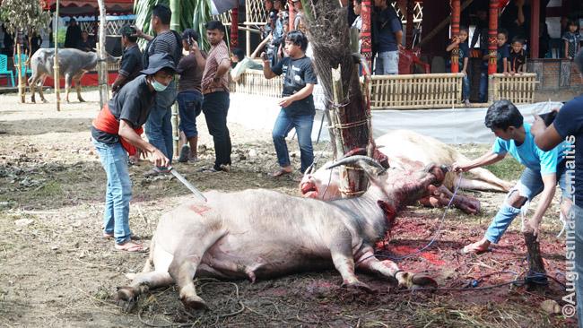 Kruvinas peilis nuvalomas į mirštantį buivolą