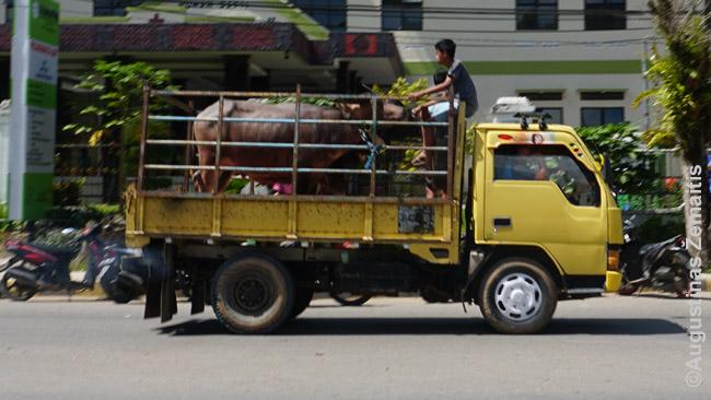 Į eilines laidotuves sunkvežimiu keliauja buivolas