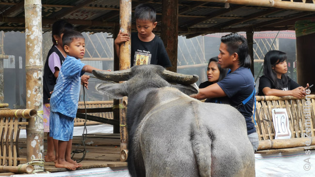 Vaikai žaidžia su buivolu, kurį tuoj valgys