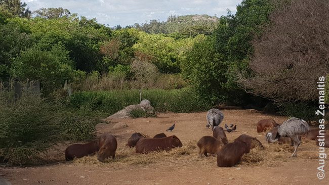 Kapibaros - tiesa, ne Urugvajaus užmiestyhe, o gyvūnų parke prie Piriapolio